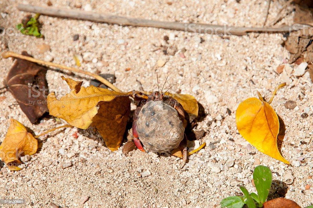 Land Hermit Crab - Cuba stock photo