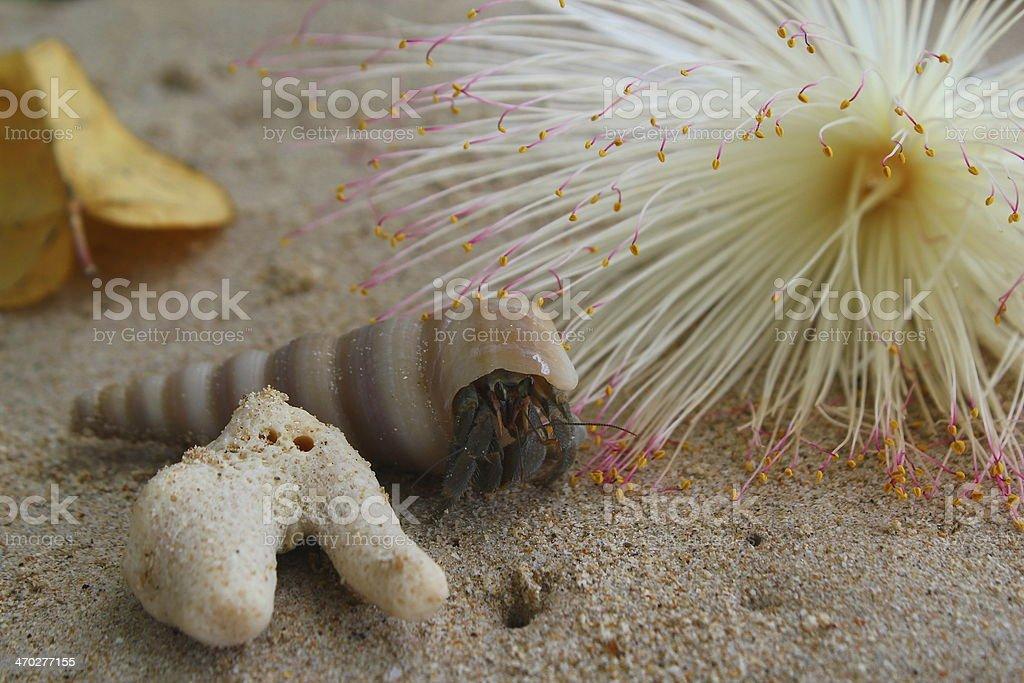 Land Hermit Crab Einsiedlerkrebs stock photo