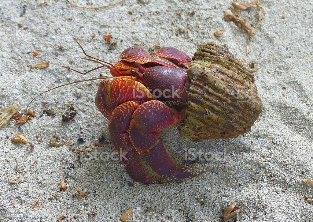Land Hermit Crab on the sand stock photo