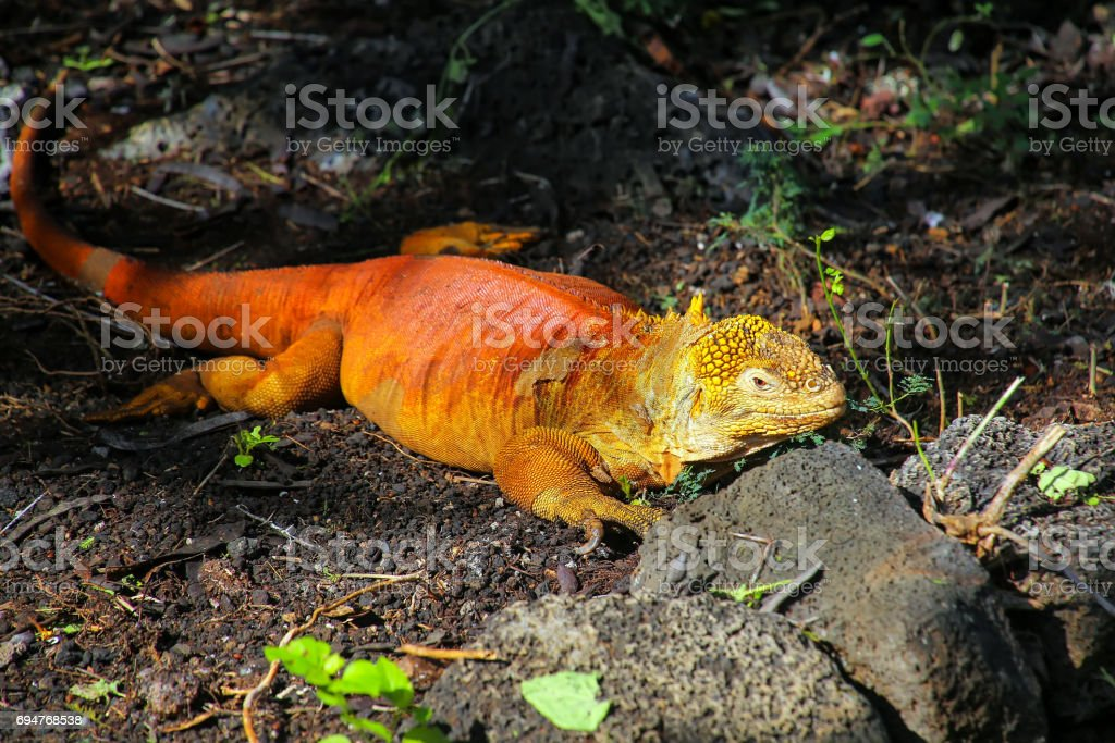 Land iguana at Charles Darwin Research Station, Santa Cruz Island stock photo