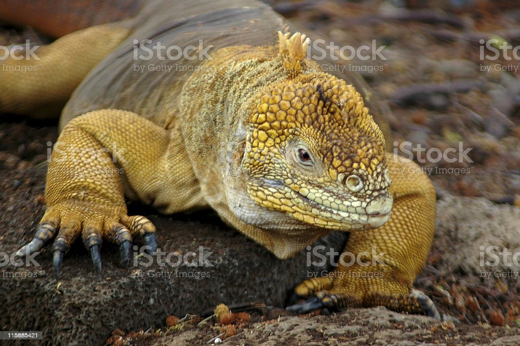 land iguana, Conolophus subcristatus stock photo