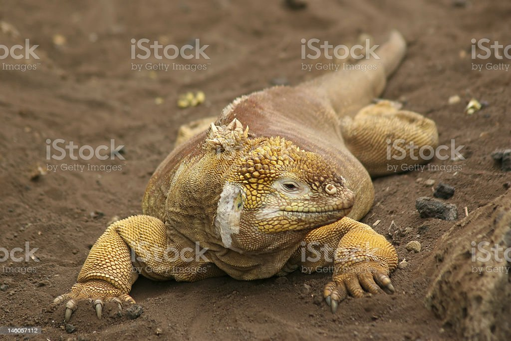 Land Iguana, Galapagos stock photo