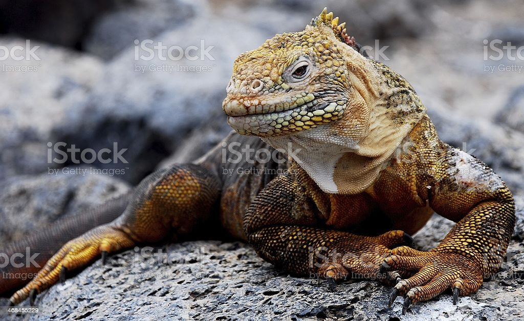 Land iguana Galapagos stock photo