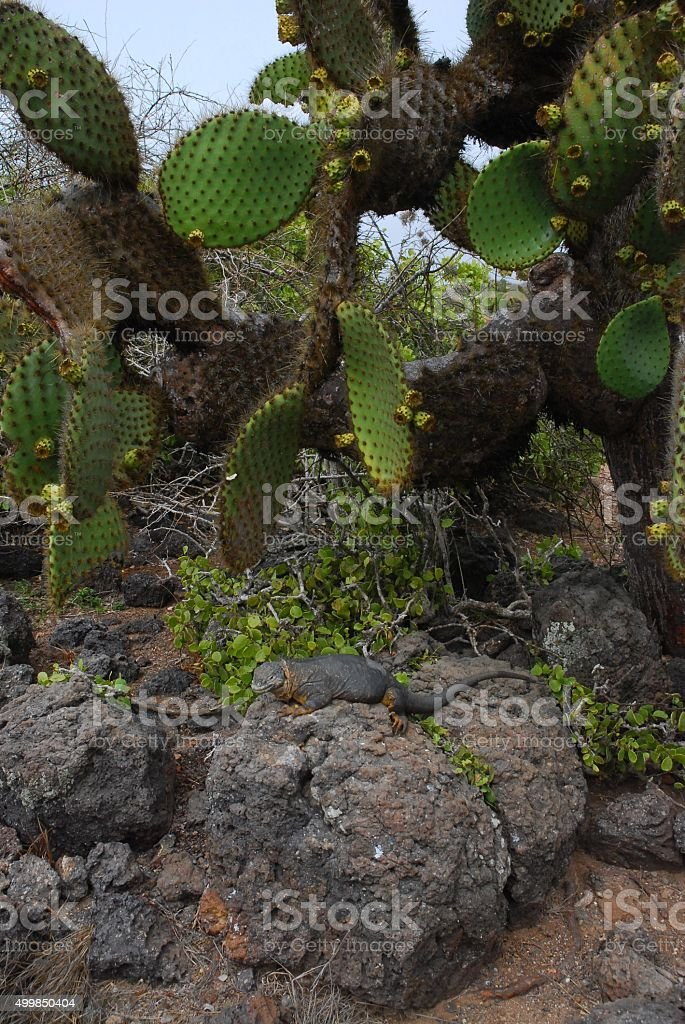 Land Iguana in the Galapagos Islands royalty-free stock photo