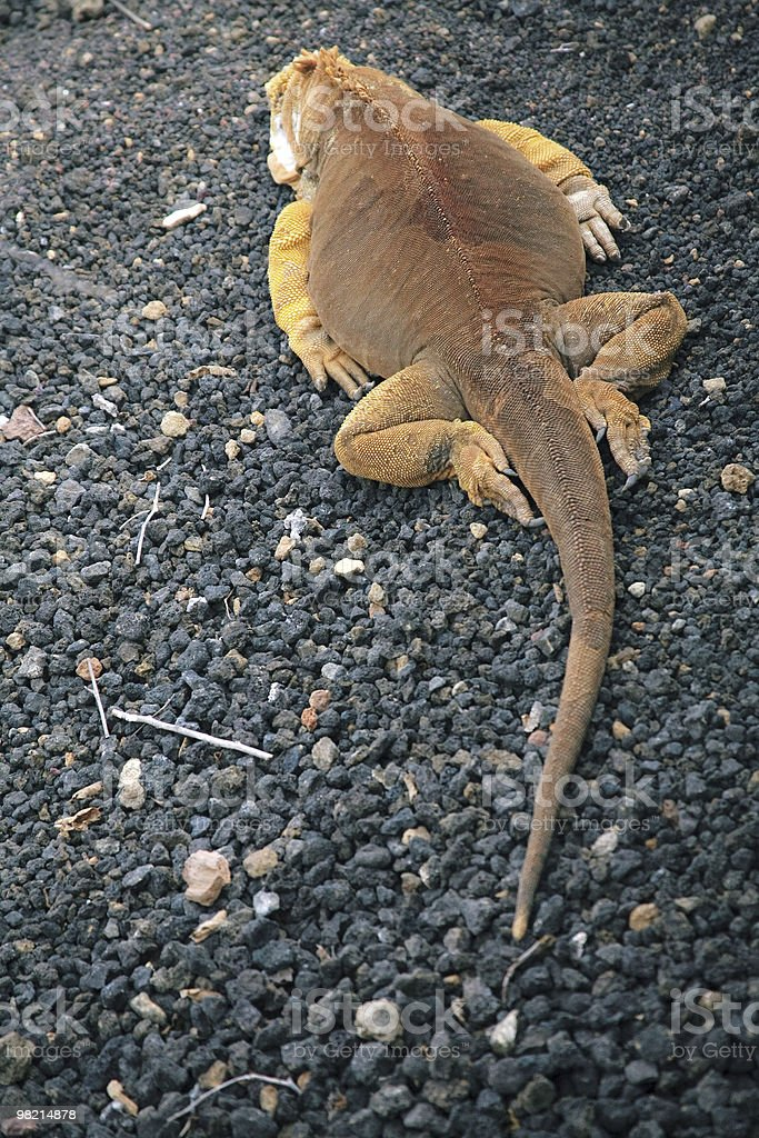 land Iguana laying on black rocks in the Galapagos Islands royalty-free stock photo