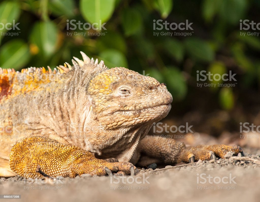 Land Iguana lying on gravel on Isabela Island, the Galapagos stock photo