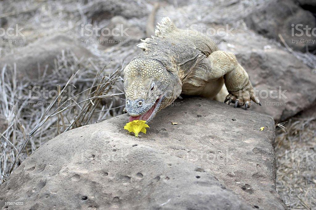 Land iguana munching on a cactus flower stock photo