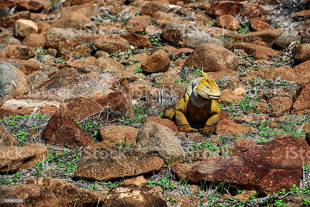 Land Iguana on North Seymour Island in  Galapagos Islands stock photo