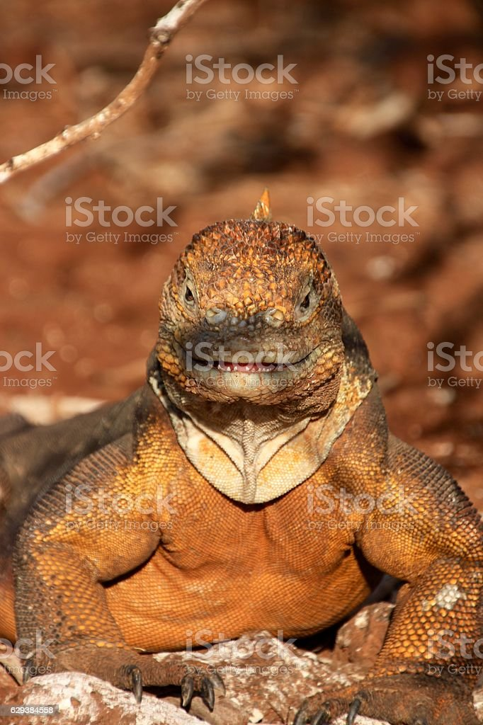 Land Iguana stock photo