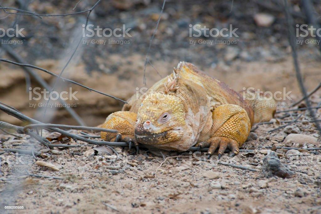 Land Iguana Sitting stock photo