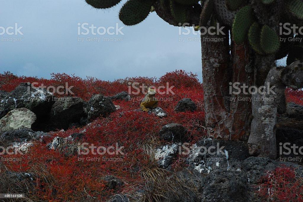 Land Iguana under Cactus Tree on South Plaza Island, Galapagos royalty-free stock photo