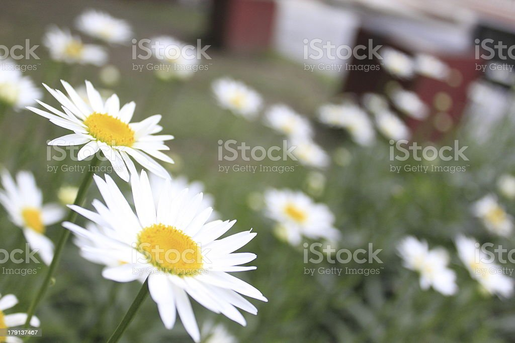 Land of White Daisies royalty-free stock photo