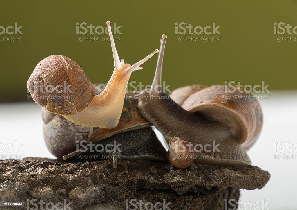 Land snails family stock photo