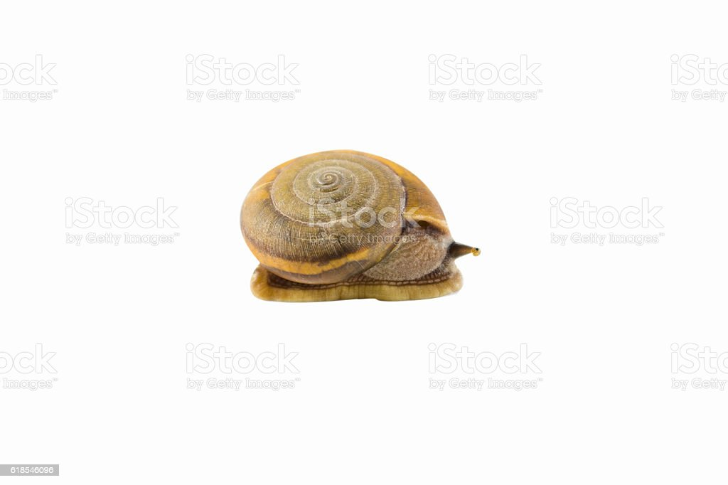 land snailswith stop at the right side,helionidae,cryptozona siamensis stock photo