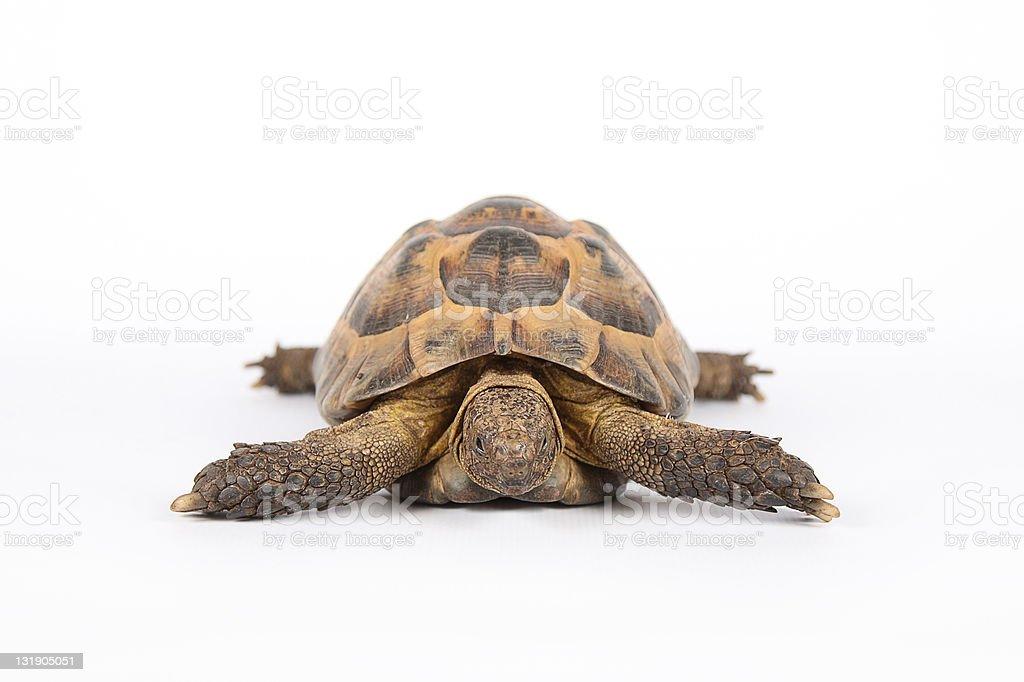 land turtle isolated on white royalty-free stock photo