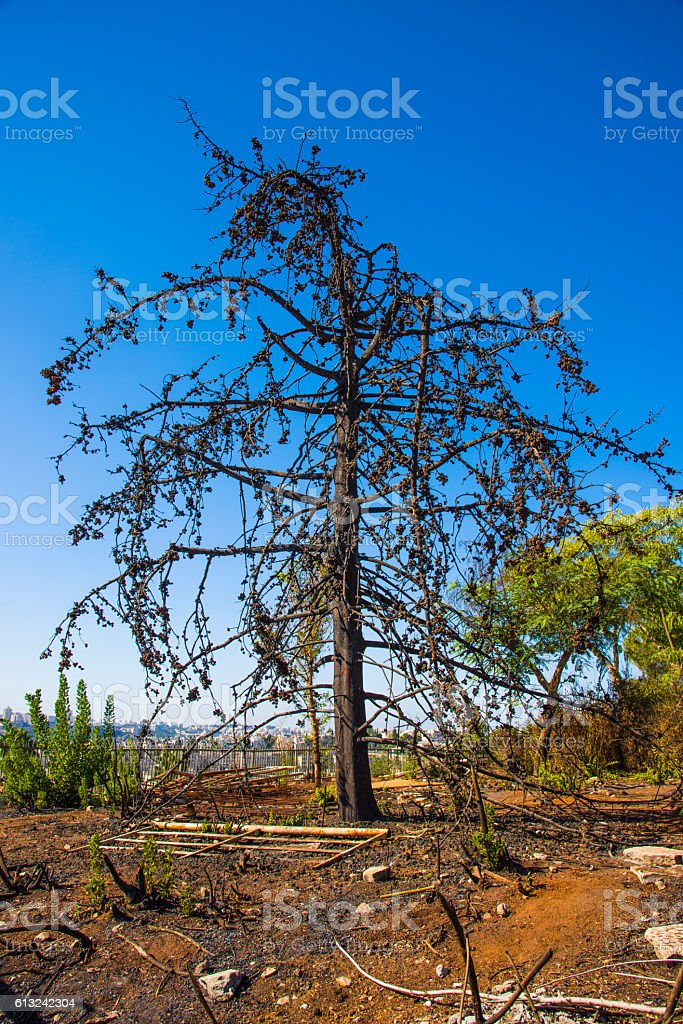 Land with trees after fire..Burned forest, charred ,  fire stock photo