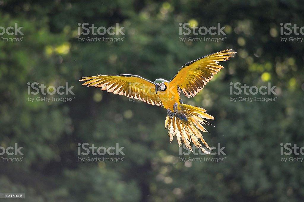 Landing blue-and-yellow Macaw - Ara ararauna in backlight stock photo