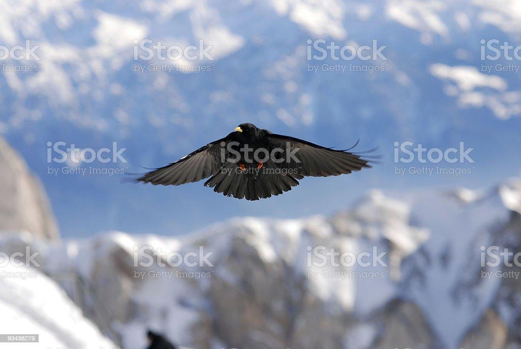 landing crow royalty-free stock photo