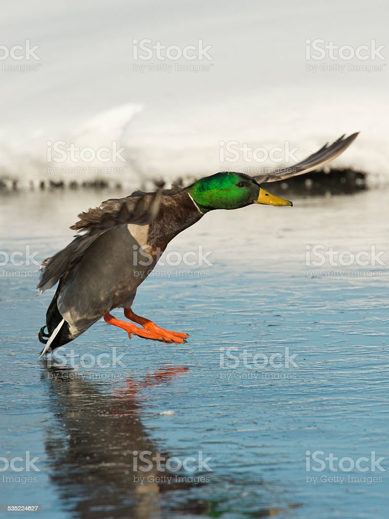 Landing Duck stock photo