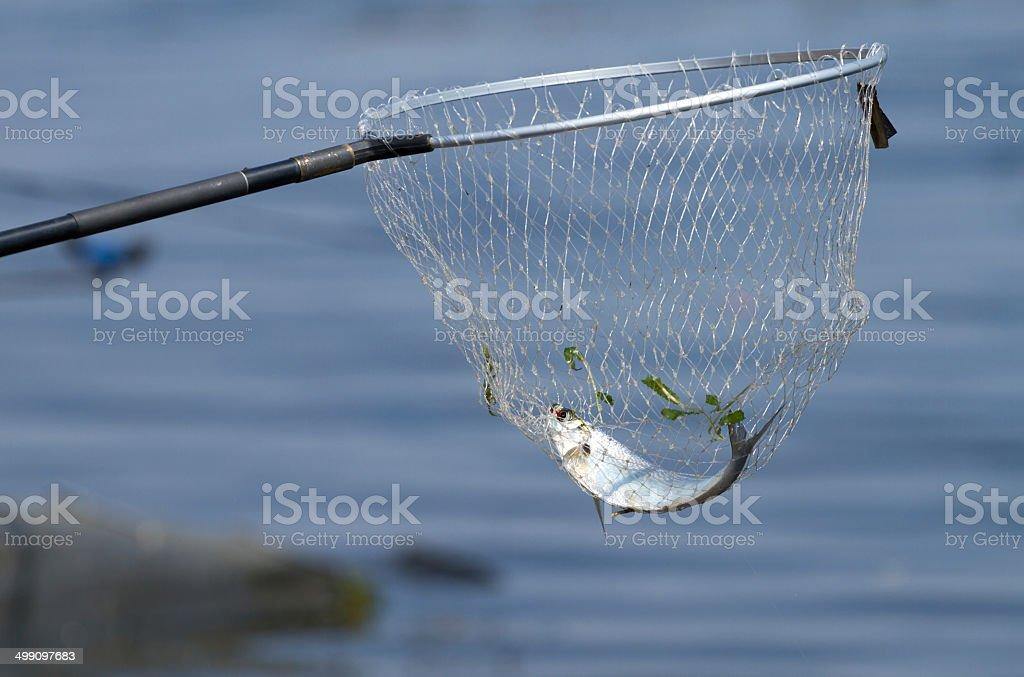 Landing net and sabrefish royalty-free stock photo