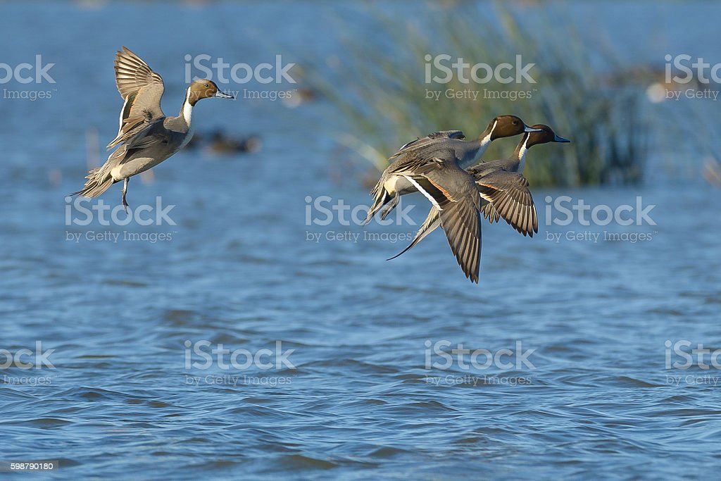 Landing Pintail Males stock photo