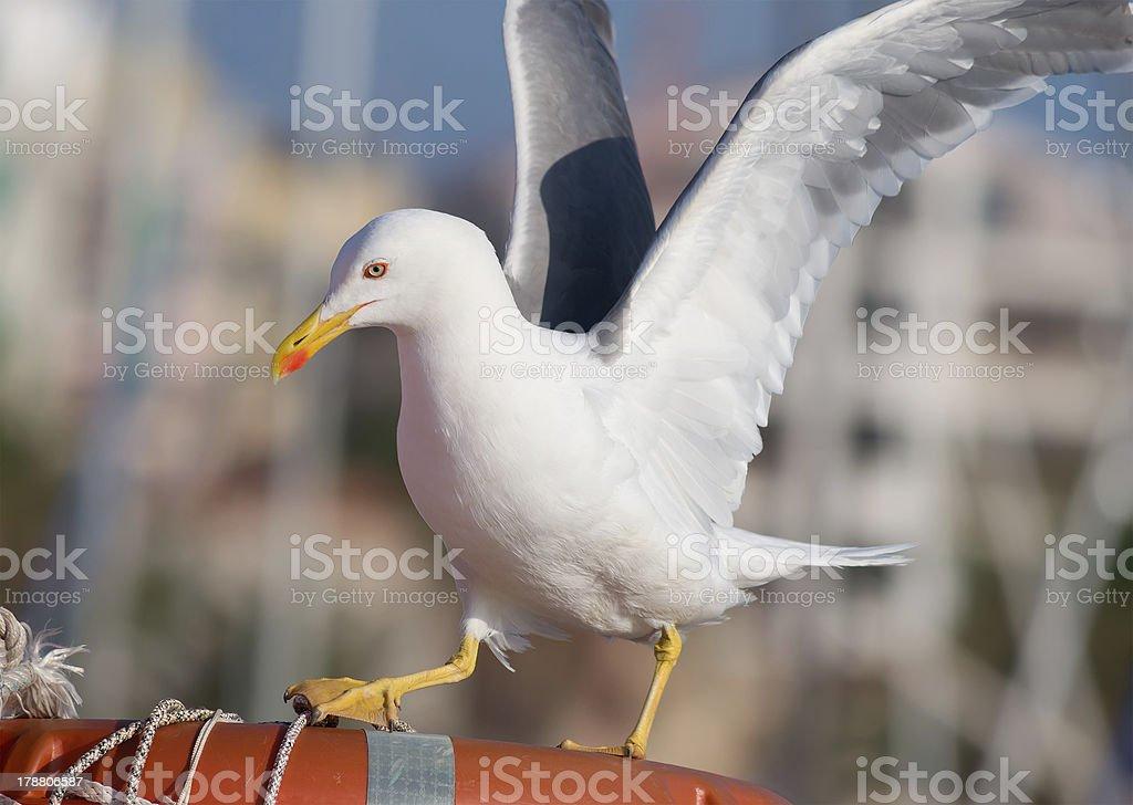 landing seagull royalty-free stock photo