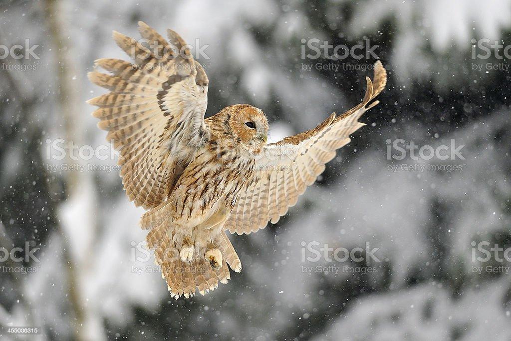 Landing tawny owl stock photo