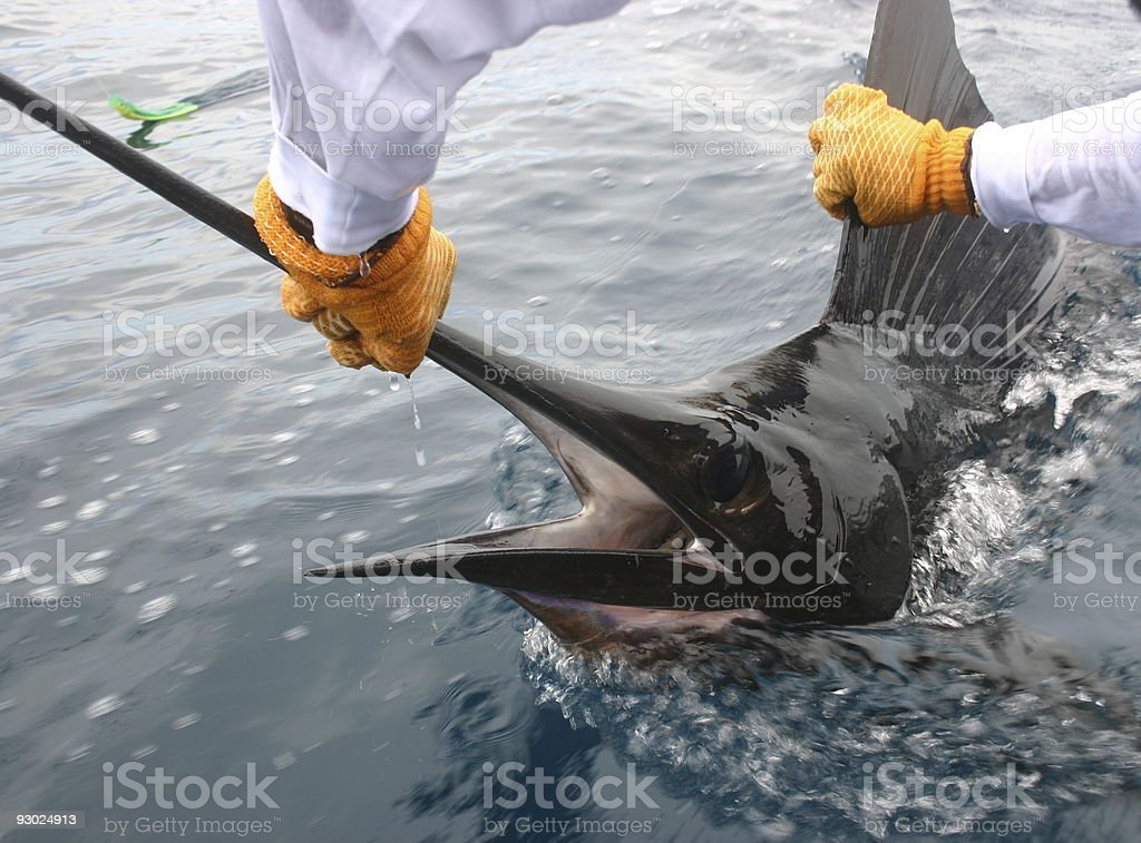 Landing The Big One! royalty-free stock photo