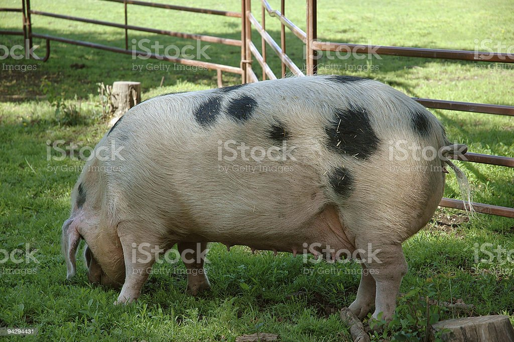 Landrace sow feeding stock photo