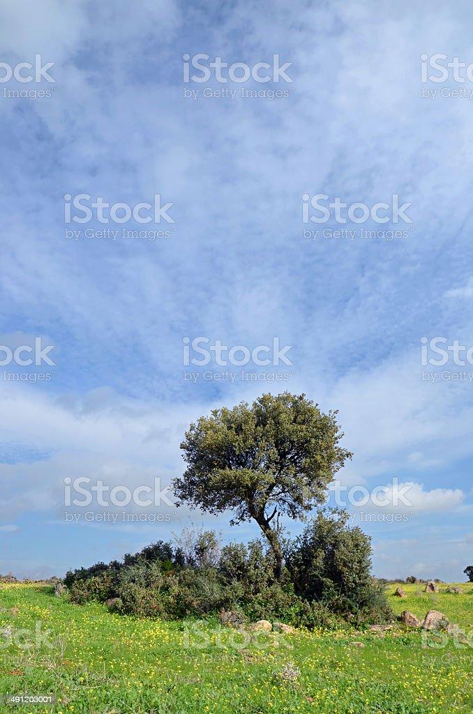 landscape and holm oak stock photo
