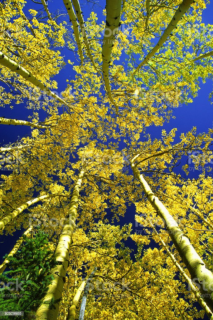 landscape autumn aspen trees yellow royalty-free stock photo