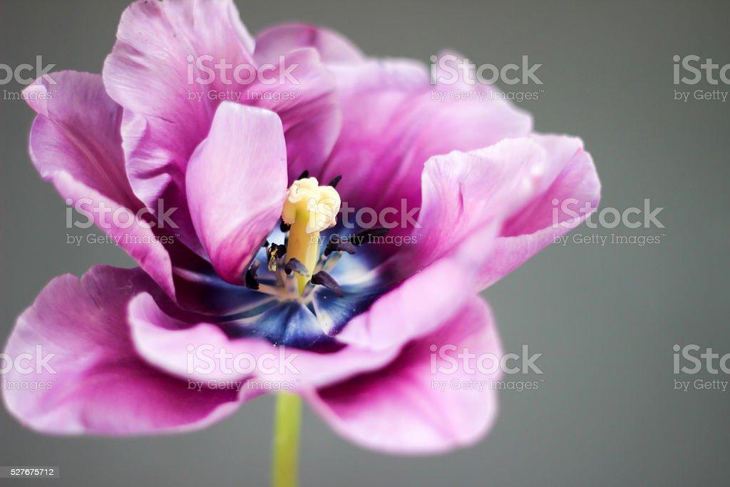 Landscape composition of purple tulip flowerhead with stem stock photo