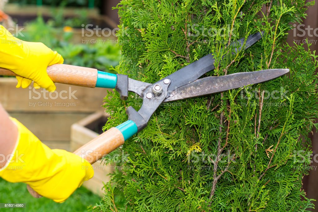 Landscape design. Hand with scissors, cutting of bushes stock photo