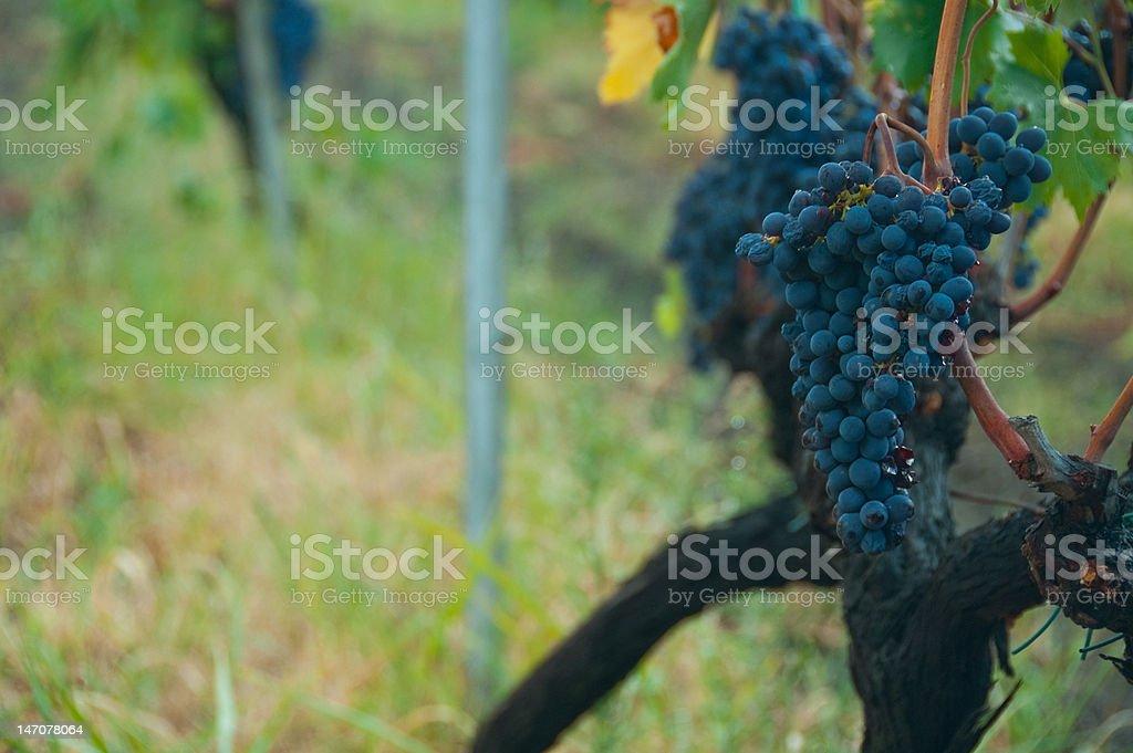 Landscape Grapes stock photo