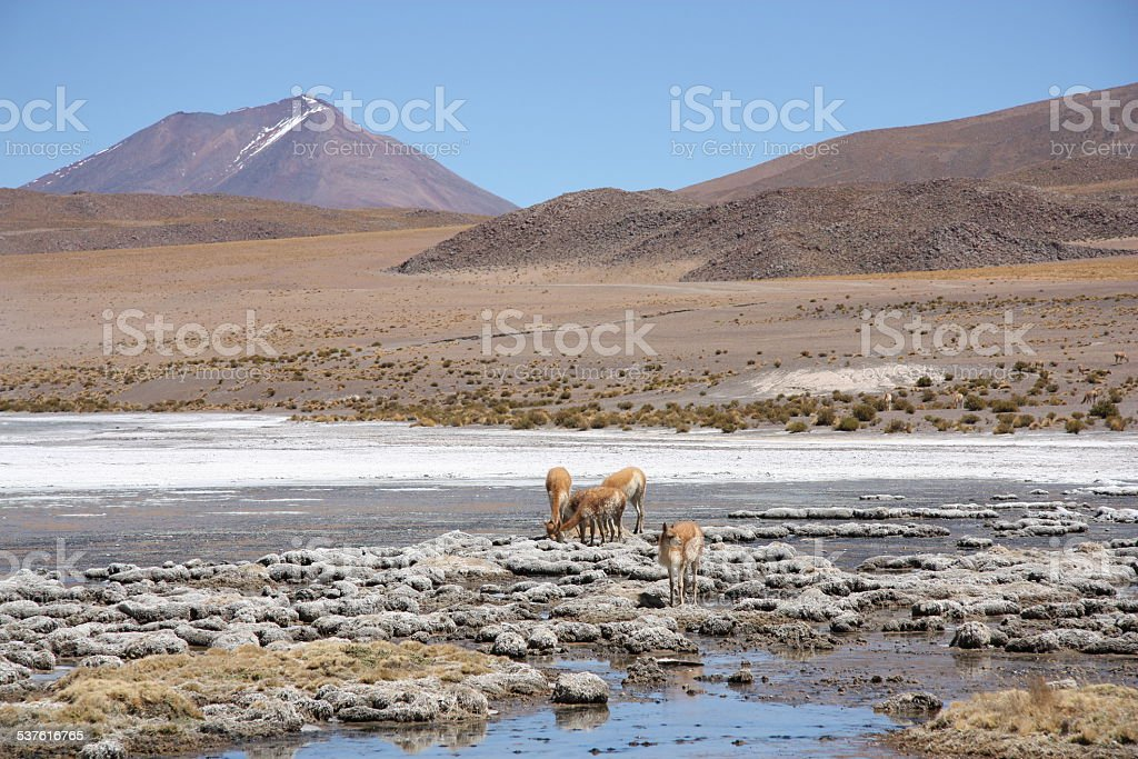 Landscape in Andes of Bolivia with lagoon and Vicunas stock photo