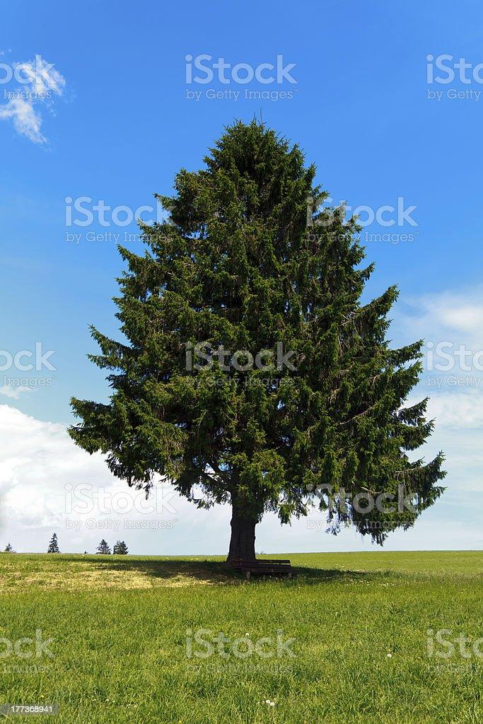 Landscape - lonely Fir Ttree on green field royalty-free stock photo