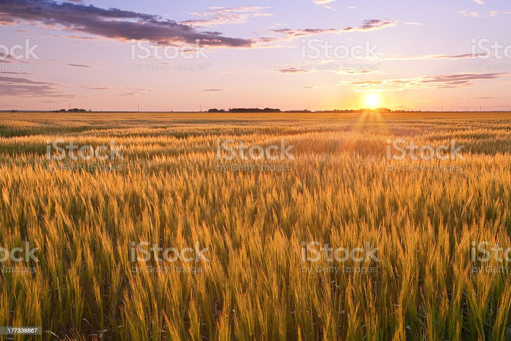 A landscape of a large golden wheat field at sunset stock photo