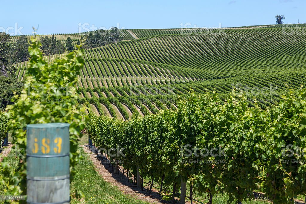 Landscape of a New Zealand vineyard on a clear day stock photo