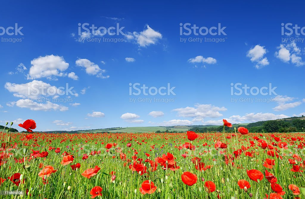 Landscape of a poppy field on a bright, slightly cloudy day stock photo