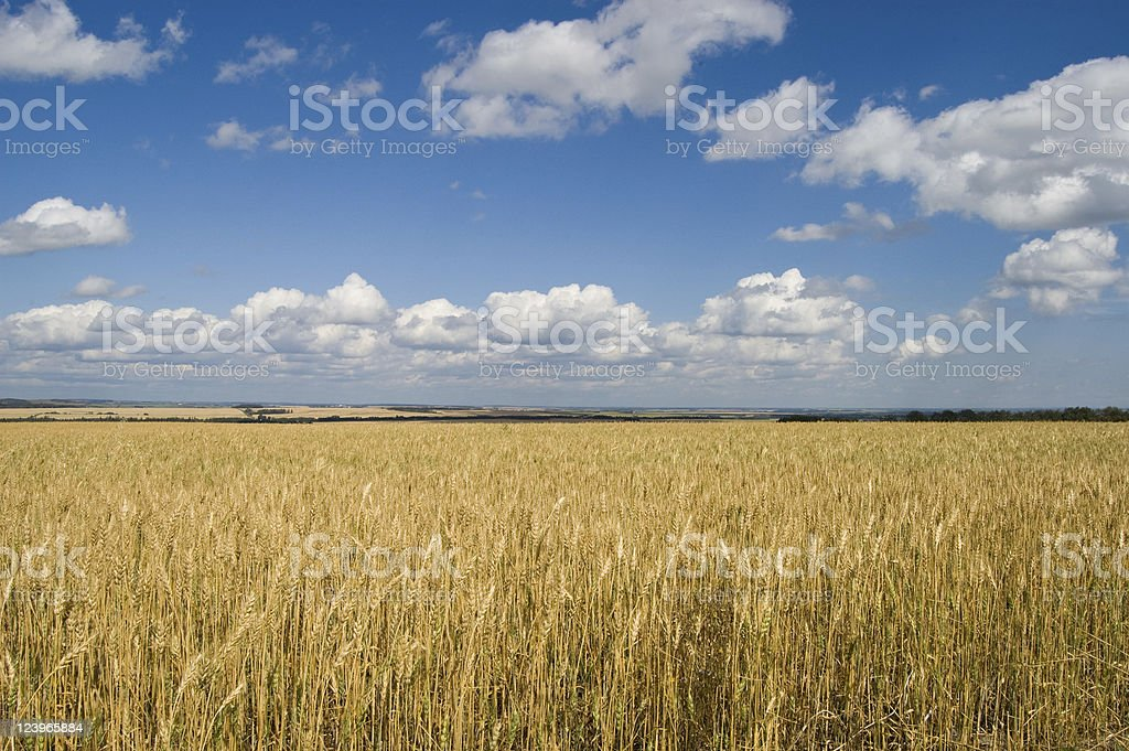 Landscape of expansive wheat field on beautiful day royalty-free stock photo