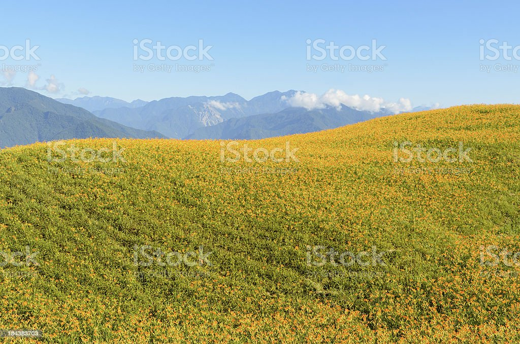 Landscape of golden needle farm royalty-free stock photo