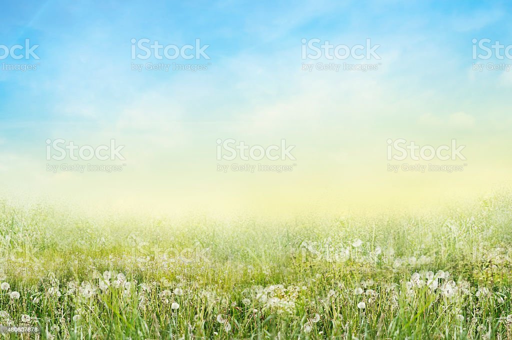 Landscape of green meadow with white dandelions and sunny sky stock photo