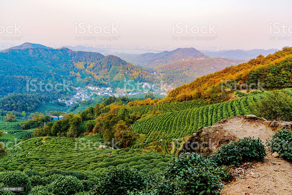 Landscape of Longjing tea fields stock photo
