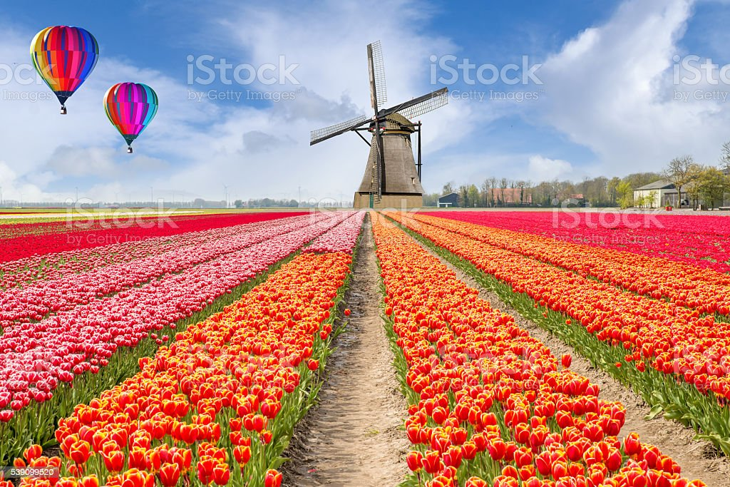 Landscape of Netherlands bouquet of tulips with hot air ballon. stock photo