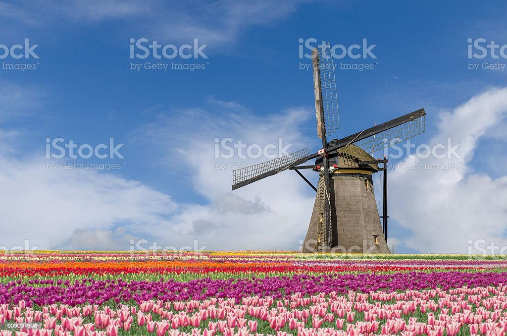Landscape of Netherlands tulips and windmills in Amsterdam stock photo