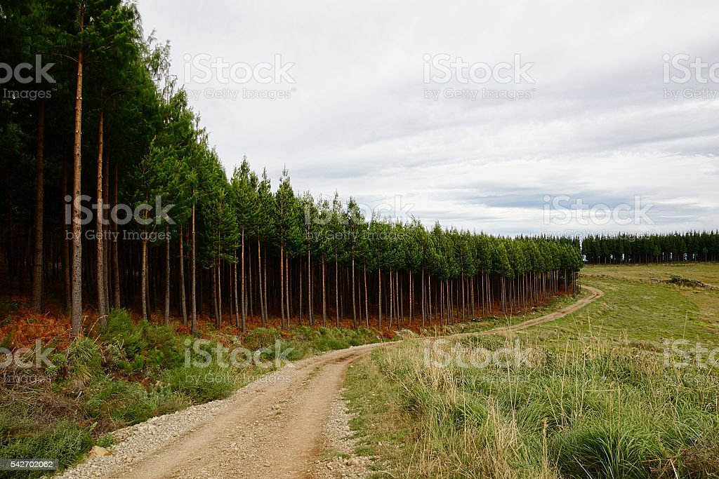 Landscape of pine tree plantation, road and cloudy sky stock photo