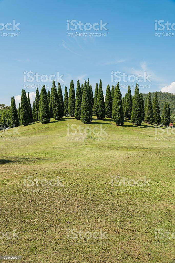 Landscape of pines on hill stock photo
