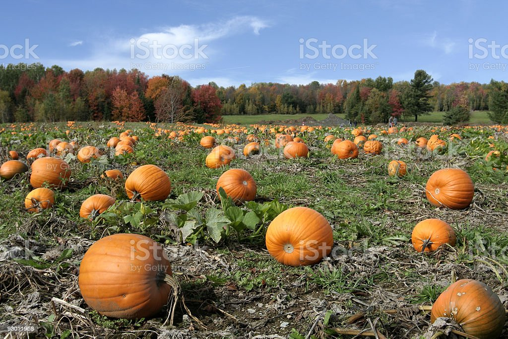 Landscape of pumpkins growing in a field royalty-free stock photo