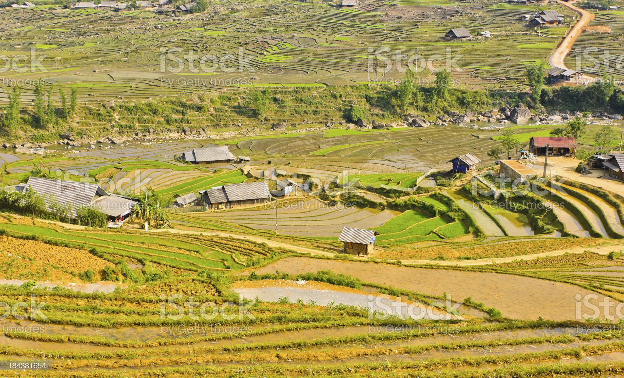 Landscape of rice crops royalty-free stock photo