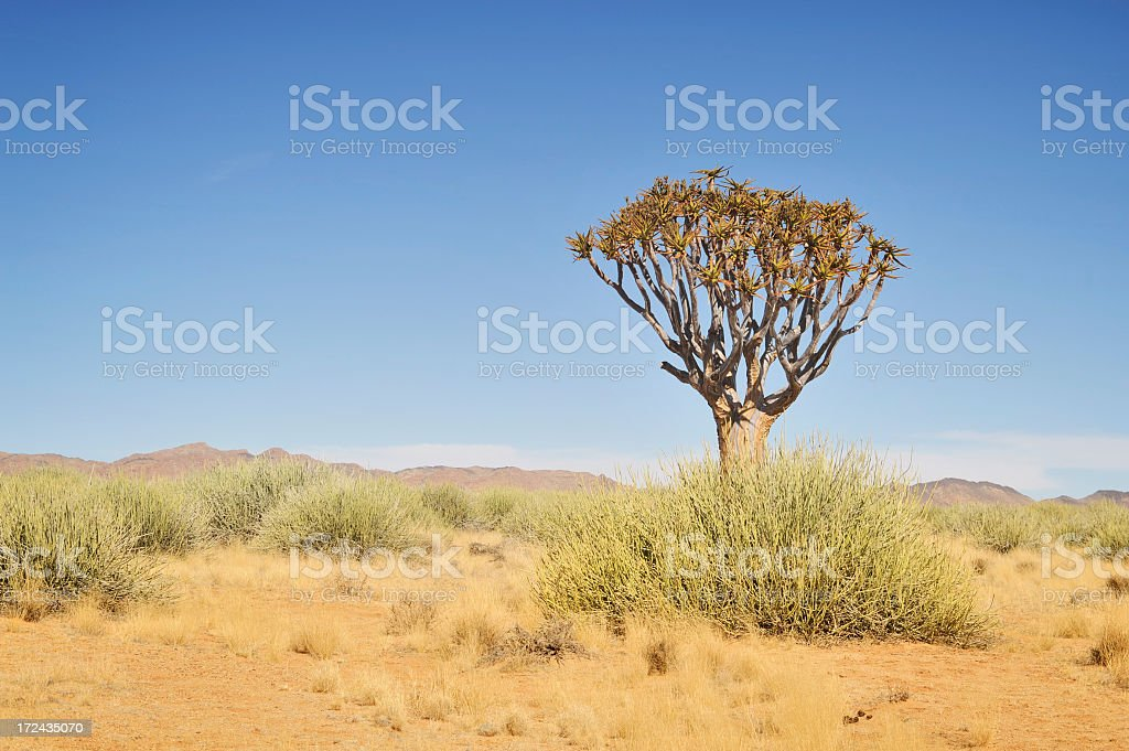 Landscape of the Namibian Desert with a solitary Quiver tree royalty-free stock photo
